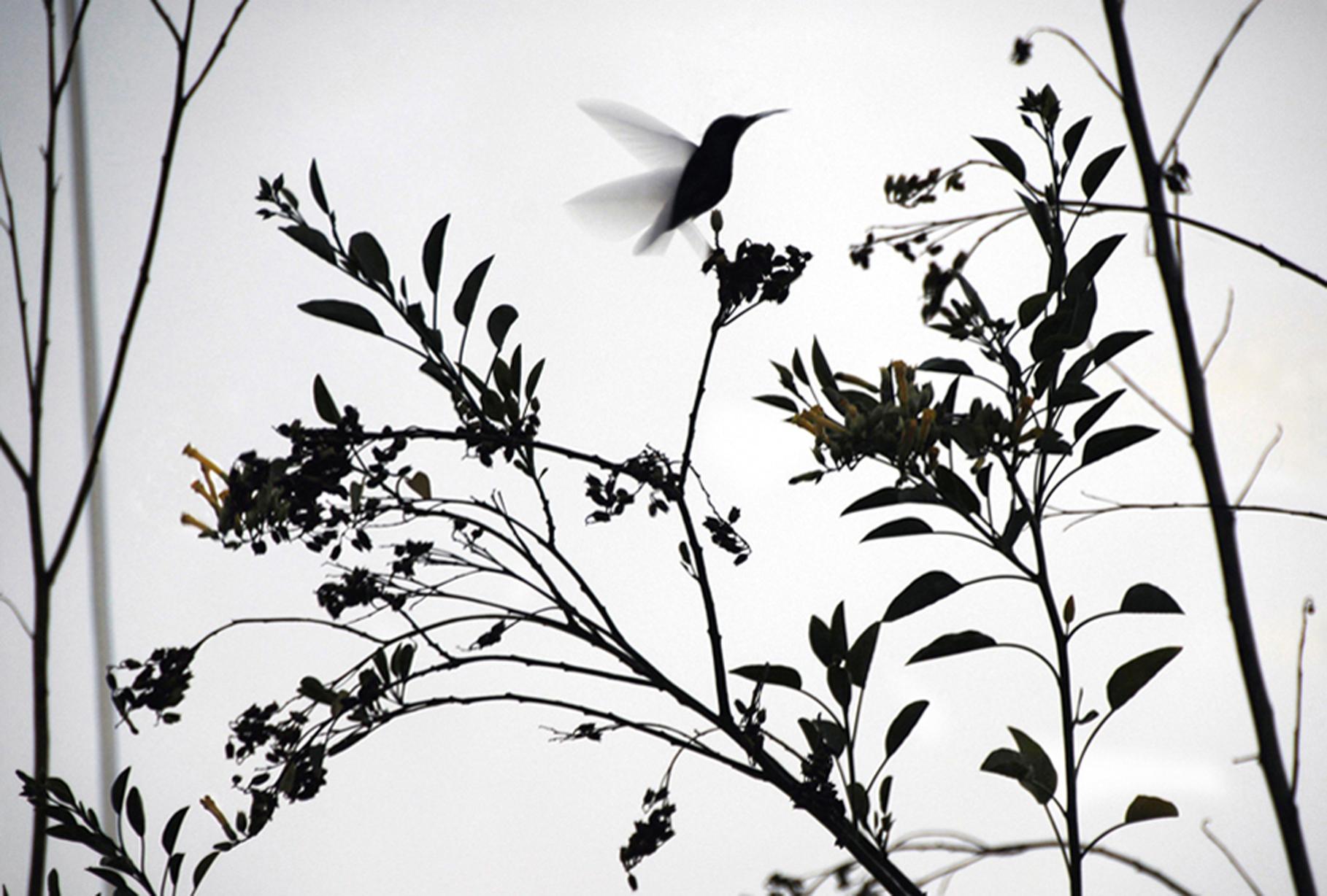 Hummingbird (2010) The Andes, Ecuador